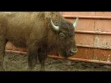 Чудаки 3D Джонни и быки